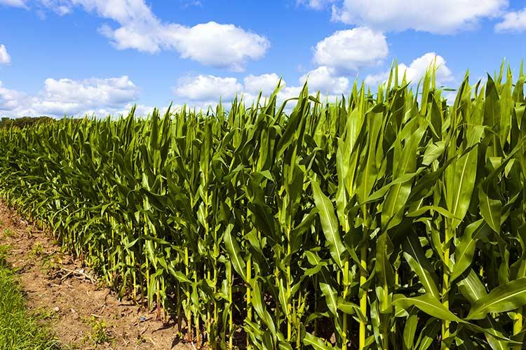 2016 Corn Plot Data