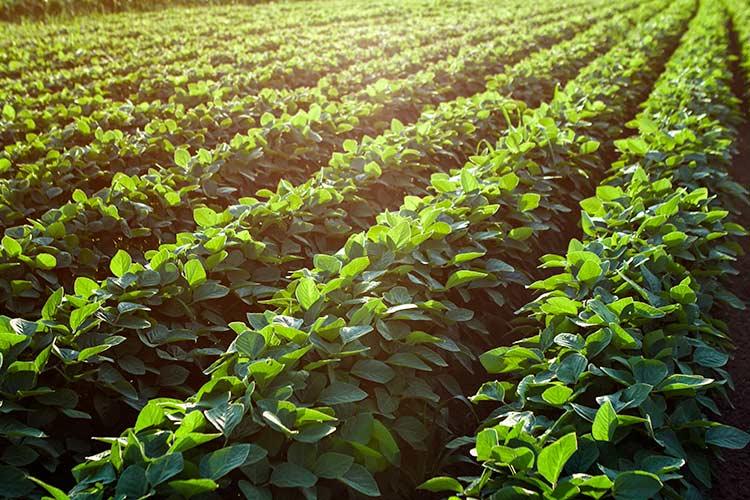2016 Soybean Plot Data